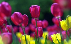 puple-spring-tulips