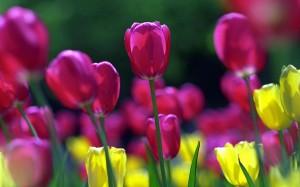 puple-spring-tulips